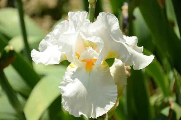 Giardino dell'Iris: aberto excepcionalmente na primavera