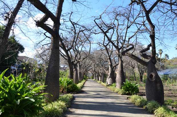 O corredor de árvores diferentes: da onde são?