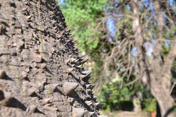 O detalhe dos espinhos no tronco das árvores