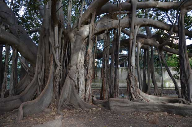O tronco do grande Ficus Macrophylla de 1845, símbolo do horto