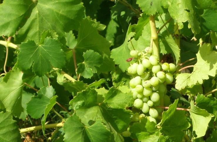 Detalhe dos vinhedos de Salina