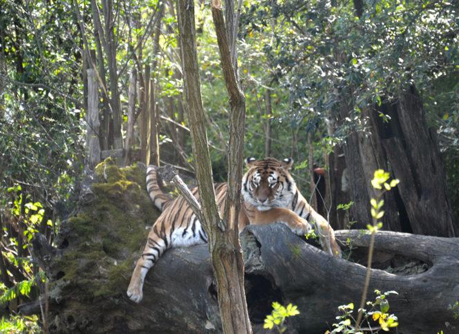 O tigre: uma das grandes atrações do Zoo de Pistoia