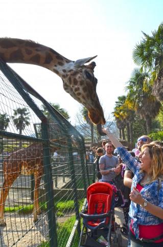 Era possível dar de comer para a girafa no zoológico de Pistoia