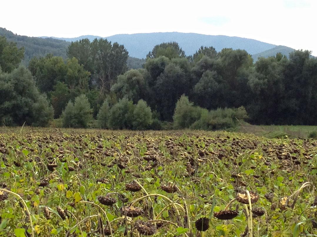 Passando por um campo de girassóis: é o retrato do fim do verão e início do outono