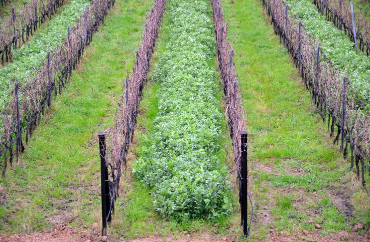 vinicola-collemassari02